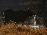 Moose Water Drips