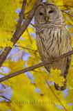 Chouette Rayée  (Barred Owl