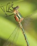 Dragonflies & Damsels