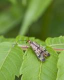 Scorpionfly3.jpg