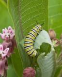 MonarchCaterpillar5.jpg