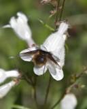 BeeFly6.jpg