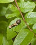 GiantSwallowtailCaterpillar1.jpg