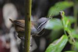 Grey-breasted Wood-Wren