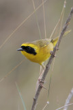 Altamira Yellowthroat