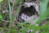 Golden-winged Warbler Nest