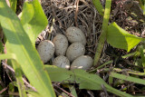 Common Moorhen Nest