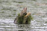 American Alligator w/Crawfish