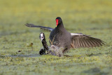 Common Moorhen fighting an American Coot
