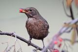 Blackbird eating berries
