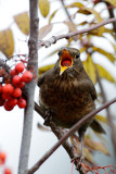 Various Birds - the Blackbirds and Thrushs