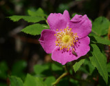 The Wild Rose - Alberta's FLower