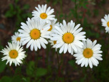 more Oxeye Daisies