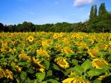 Sunflowers 21