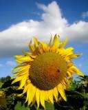 Sunflowers 26