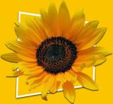 Sunflowers 27