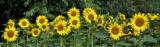 Sunflowers 28