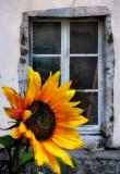 Sunflowers 31