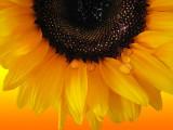 Sunflowers 34