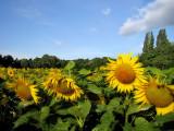 Sunflowers 36