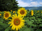 Sunflowers 39