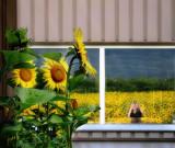 Sunflowers 40