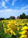 Sunflowers 41