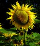 Sunflowers 44