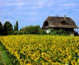 Sunflowers 46