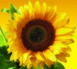 Sunflowers 47