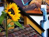 Sunflowers 48