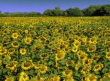 Sunflowers 49