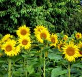 Sunflowers 50