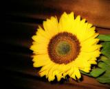 Sunflowers 51