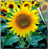 Sunflowers 4