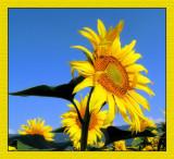 Sunflowers 15