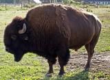 bison en Pologne