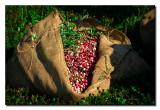 Burlap Sack of Berries