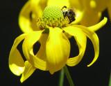 Bourdon sur fleur jaune