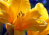 hemerocalle jaune orange