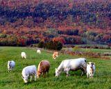 les vaches d'automne