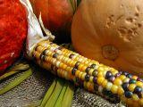 l'épi de maïs multicolore