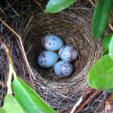 Junco nest of blue speckled eggs