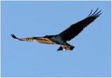 Osprey - Successful Evening Hunt