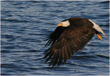 Bald Eagle - Sovereign of the Sky