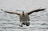 Canada Goose on final
