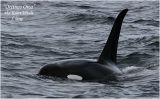 Orcinus Orca  aka Killer Whale