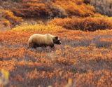 Wild Alaska Bears