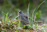 Gambell's White-crowned Sparrow