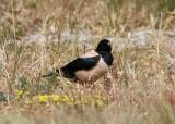 Rose-colored Starling, Sturnus roseus, 2cy male, Falsterbo 080609